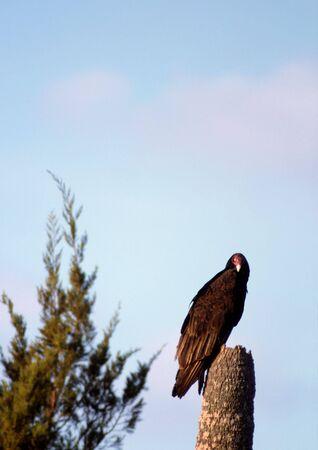 Turkey Vulture atop a dead palm tree Standard-Bild