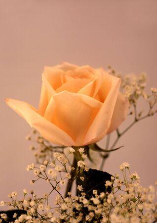 close-up of single salmon rose in a bouquet Standard-Bild