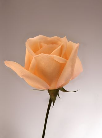 single isolated salmon rose bud with gray background