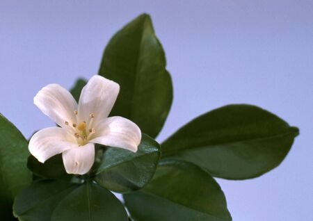 single white orange blossoms with green leafs