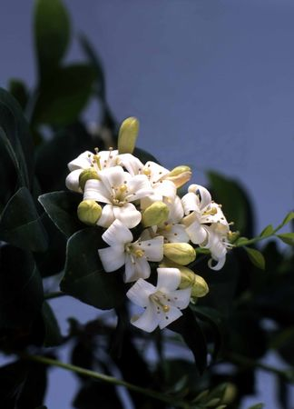 cluster of white orange blossoms with green leafs