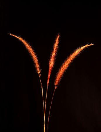 three vanes of  tall straw grass set on a black setting