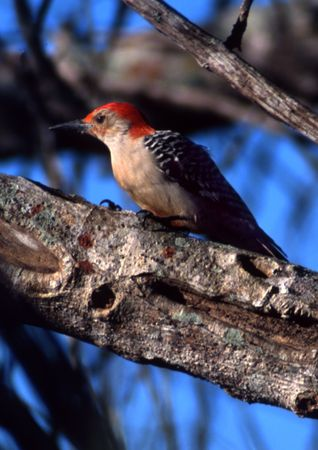 Red-bellied Woodpecker perched on a branch of a tree Standard-Bild