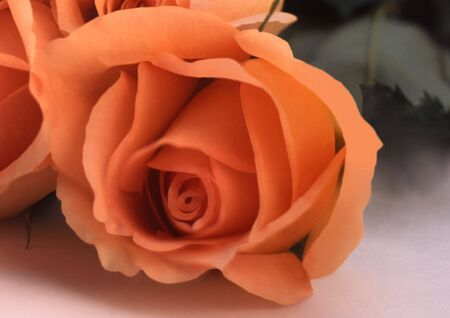 one rose bloom laying on its side Standard-Bild