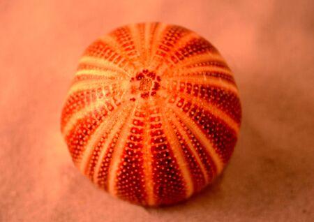 an English sea Urchin laying on the sand