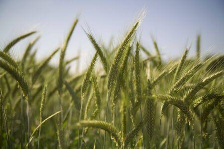 Golden wheat growing in a farm field Stock Photo - 2624011