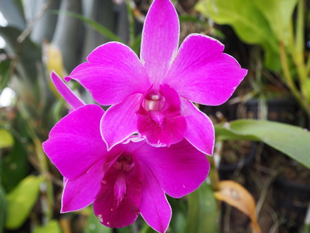 orchid house: Close up Purple orchid in the orchid house.
