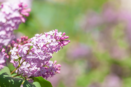 Lilac branch against a bush - outdoor closeup photography of beautiful spring flower. Romantic floral background with selective focus for greeting card or horizontal banner.