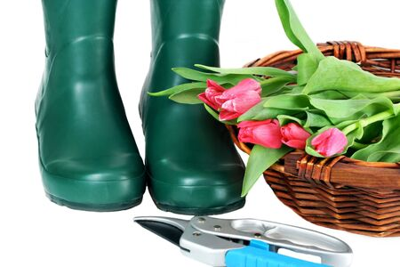 Green gardening boots, a basket of fresh cut tulips and a pair of pruning shears on a white background. photo