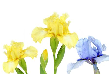 bearded iris: Yellow and Blue bearded Iris on white with copy space.
