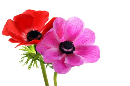 Two beautiful anemone flowers, one red and one pink, on a white background with copy space. Stock Photo