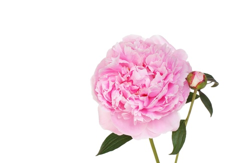 One beautiful pink peony flower with a bud on white.  Copy space.