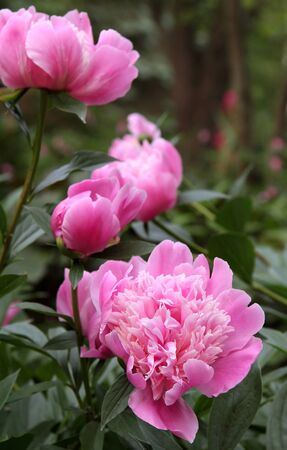 Three beautiful blooming pink peonies in a garden.  Evening light with selective focus on front peony. Banco de Imagens - 9766718
