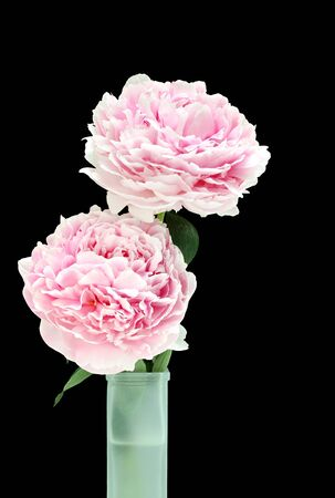 Two fresh and beautiful pink peonies in a green frosted glass vase.  On black with copy space. photo
