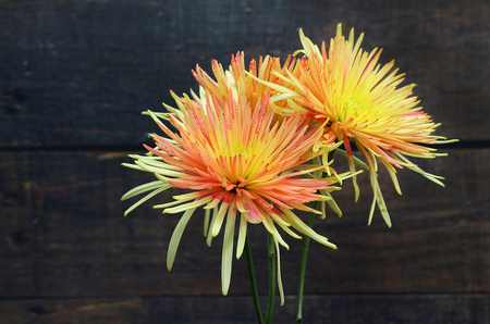 Macro of two beautiful yellow and orange spider mums against a rustic wooden background.