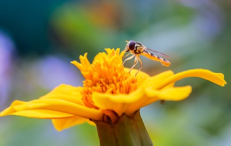 asilidae: Asilidae on a flower