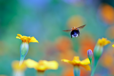 Bumble bee flies from flower Stock Photo