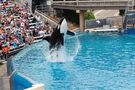 on the black sea: SAN DIEGO, CALIFORNIA, USA - JUNE 3, 2009: Killer Whale performing at Sea World, San Diego