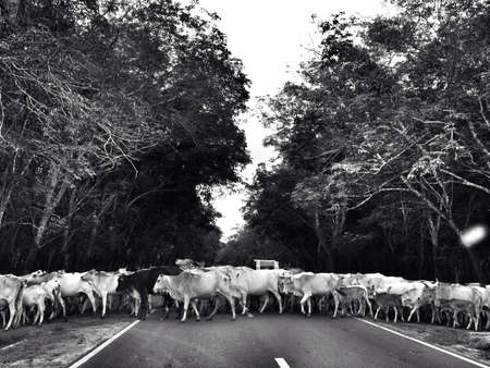 come home: the cows come home to roost trooped across a public road in the village of Sei Mangke Simelungun North Sumatra Indonesia