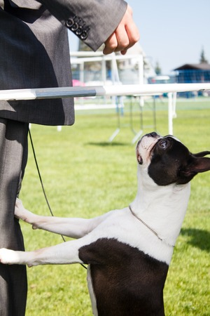 handler: Dog waiting for his handler to gove him some snacks. Stock Photo