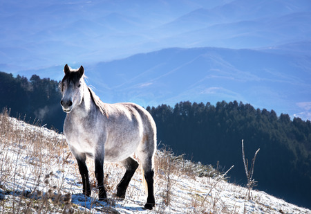 The beautiful white horse.