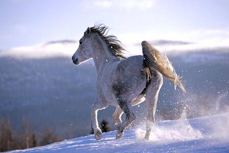 yegua: Yegua árabe galopando por la pradera en la nieve Foto de archivo