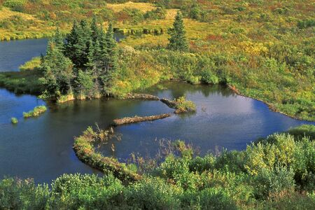 tundra: Tundra pond with beaver dam, autumn colors,