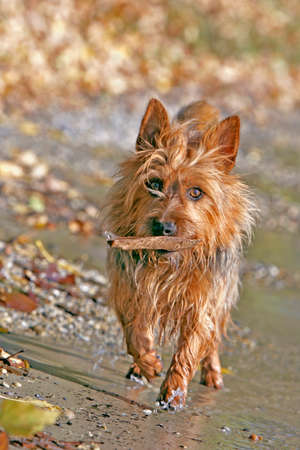 lakeshore: Australian Terrier at lakeshore, playing with stick
