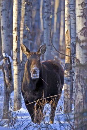 hoofed animals: Cow Moose standing in Aspen forest, feeding