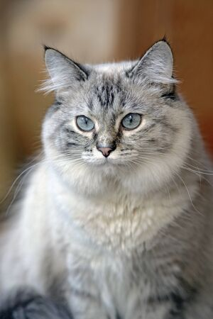 cat eye: Long-haired Cat creme and black tabby watching,