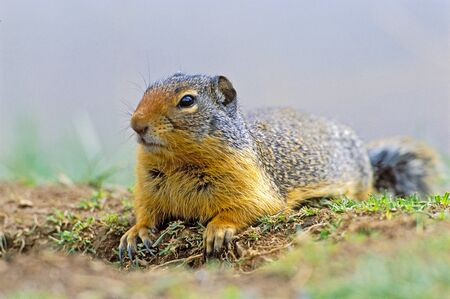 animal den: Columbian Ground Squirrel laying in grass at densite
