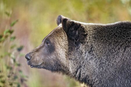 omnivore animal: Grizzly Bear alert, portrait close up Stock Photo