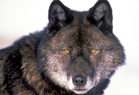 Close up portrait of Black Timber Wolf