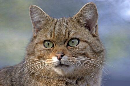 european: European Wildcat portrait, closeup Stock Photo
