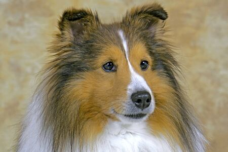 familiaris: Shetland Sheepdog, adult portrait Stock Photo
