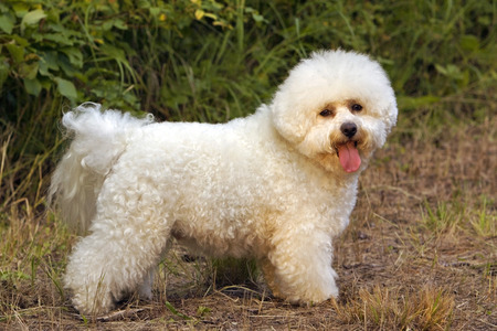 Bichon Frise standing on trail, profile Stock Photo