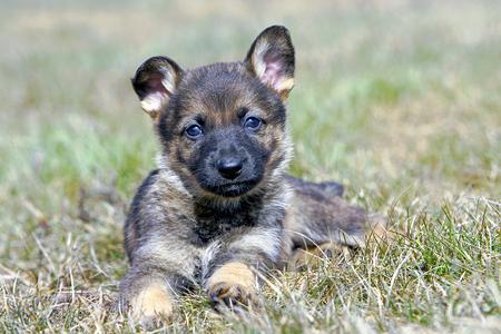 german shepherd on the grass: German Shepherd Puppy five weeks old, laying on grass