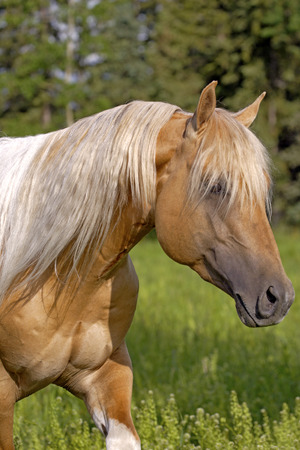 Close up  of beautiful  palomino paint Stallion walking Stock Photo