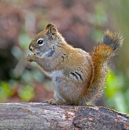 Red Squirrel on tree stump,feeding seeds Stock Photo