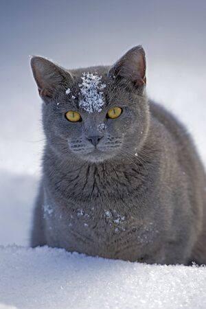grey cat: Grey Cat  sitting in snow, portrait closeup