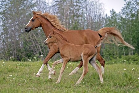 filly: Chestnut Arabian Mare and filly trotting together in meadow Stock Photo