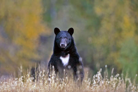 omnivore: Big Black Bear searching for food in meadow