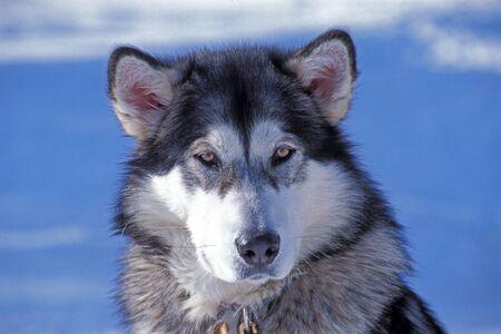 malamute: Alaskan Malamute, portrait closeup