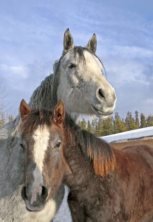Gray dapple Mare and Foal together at winter pasture. Imagens