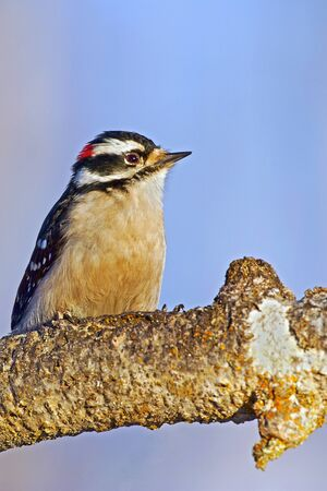 downy woodpecker: Downy Woodpecker male sitting on tree branch Stock Photo