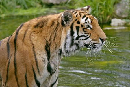 wildcats: Close up of beautiful Bengal Tiger standing in water, alert