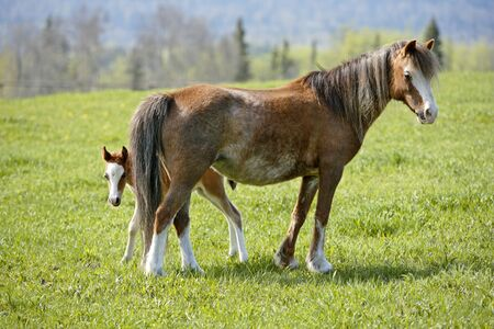 filly: Welsh Pony Mare with few week old Foal at spring pasture