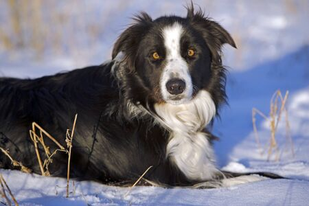 Border Collie laying in snow, portrait,