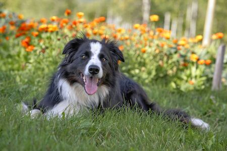 Border Collie laying in grass by flowers