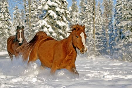 hoofed animals: Bay and chestnut Arabian Horses running together in fresh snow at winter pasture. Stock Photo